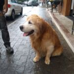 Encontrado Golden Retriever Caramelo Macho dia 31/12/2019 Centro, Campinas-SP