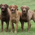 Chesapeake Bay Retriever – Raças Caninas
